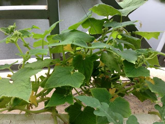 Vườn treo 2,5 m2: Khoai tây leo, bầu hồ lô độc nhất Hà Thành - 19