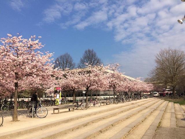 Hoa anh đào mùa xuân trên khuôn viên đại học Göttingen