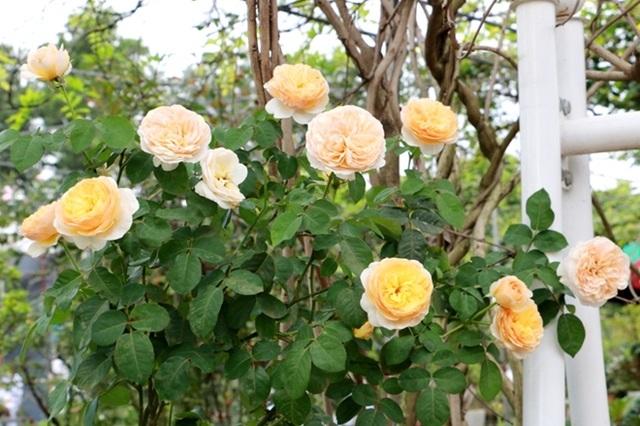 Điểm đến hấp dẫn cho người đam mê hoa hồng dịp 30/4 tại Hà Nội - 3