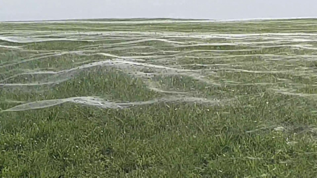 Hàng nghìn con nhện chăng lưới khắp cánh đồng ở New Zealand - 2