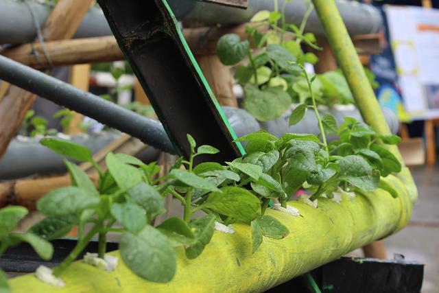 Dự án trồng cây thủy sinh được các em nghiên cứu, thử nghiệm trên ống hút sau đó lắp giá đỡ, ống thủy canh và trồng cây xanh. Kết quả cây xanh sinh trưởng và phát triển tốt.