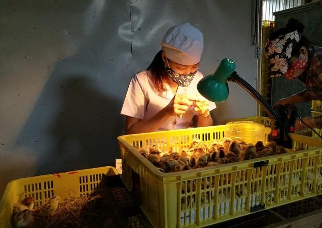 Chị Nguyễn Thị Dung (xã Đức Giang, huyện Hoài Đức, Hà Nội) nổi tiếng với khả năng xem lỗ huyệt (hậu môn) để phân loại gà trống, gà mái