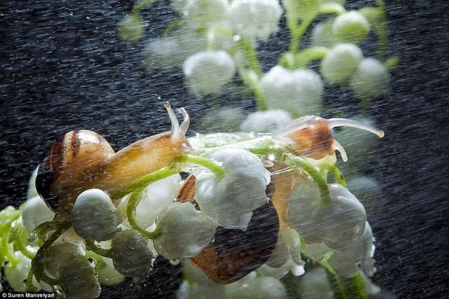 Bộ ảnh tuyệt đẹp về loài ốc sên dưới mưa - 2