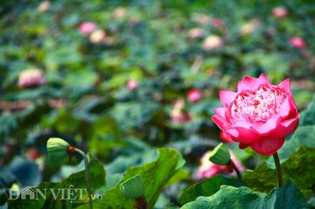 Sen quan âm- một trong những loại sen quý trong đầm. Ảnh: Hồng Liên/Dân Việt