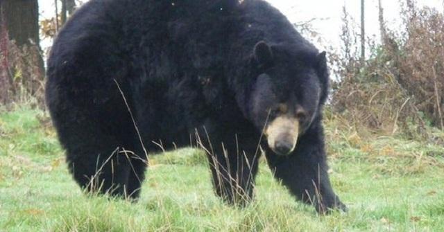 Một con gấu đen đã tấn công nhân viên trại hè ở Mỹ (Ảnh minh họa)