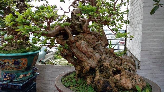 Toàn cảnh cây ổi vô cùng quý, hiếm, có dáng, thế độc đáo, với tuổi thọ hơn 300 năm tuổi của gia đình ông Nguyễn Gia Thọ, ở Nghi Tàm (Tây Hồ, Hà Nội).