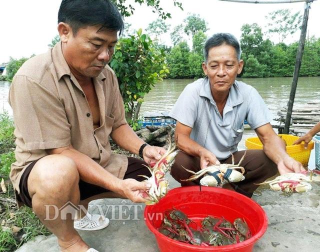 Nông dân thu hoạch cua bán cho thương lái (Ảnh: La Nguyen).