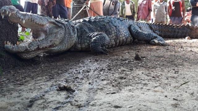 Con cá sấu khổng lồ dài 4m