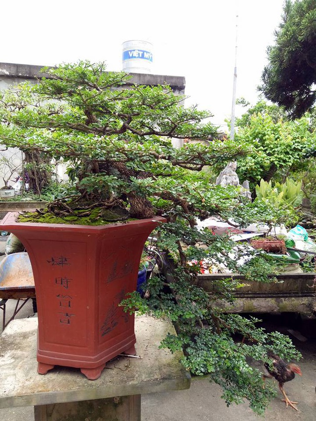 Toàn cảnh cây cần thăng giá hàng ngàn đô của anh Nguyễn Văn Uy (phường Phả Lại, thị xã Chí Linh, Hải Dương) có tuổi đời khoảng 50 tuổi, rất quý hiếm.