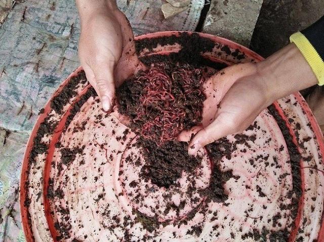 Làm giàu ở nông thôn: Cử nhân người Nùng về quê nuôi giun quế - 1