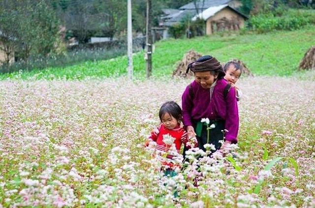 """""""Phát cuồng"""" vẻ đẹp hoa tam giác mạch bung nở trên sườn núi đá Hà Giang - 3"""