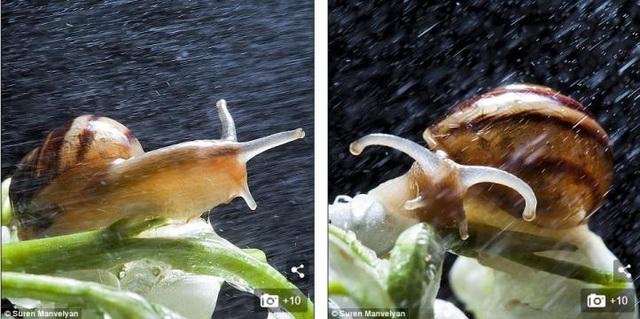 Bộ ảnh tuyệt đẹp về loài ốc sên dưới mưa - 3