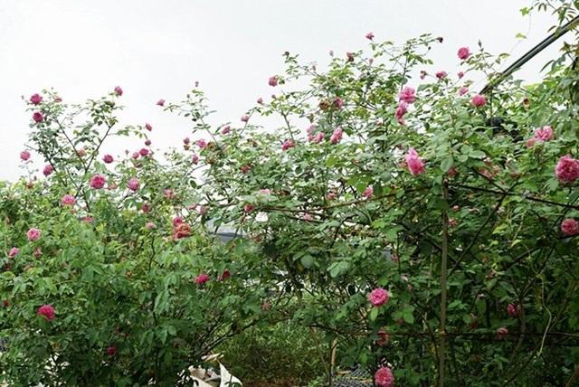 Chồng bỏ lương 100 triệu cùng vợ trồng 100 ngàn cây hoa hồng - 4