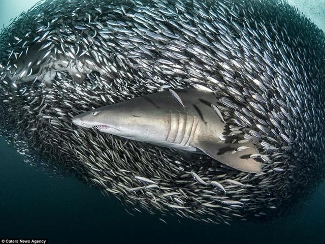 Đây là thời điểm bạn có thể thấy những con cá mập duyên dáng đến nhường nào - Tanya cho hay. (Nguồn: Caters News Agency)
