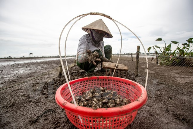 Thái Bình: Kiếm tiền triệu từ nghề cào ngao thuê ở Đồng Châu - 4