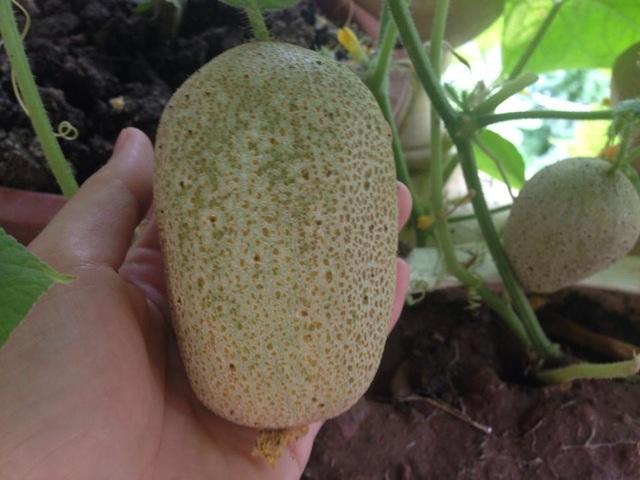 Tương tự, giống dưa chuột khoai tây này cũng được chị sưu tập về trồng