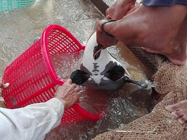 Hai chiếc râu dài của cá hồng vỹ dùng để dò mồi. Ảnh: H.DƯƠNG