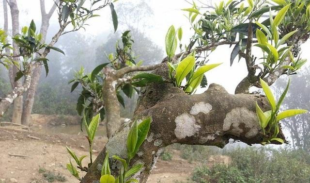 Kỳ bí rừng chè cổ thụ 1.000 năm tuổi 1.500m trên đỉnh Khang Su Văn - 4