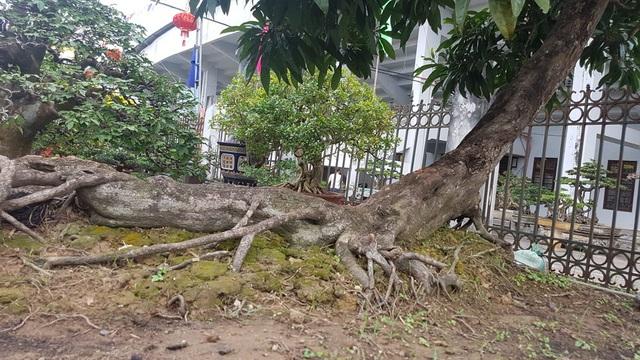 """Cây cảnh có bộ rễ """"quái vật"""": Trông như củi khô hét giá trăm triệu - 4"""