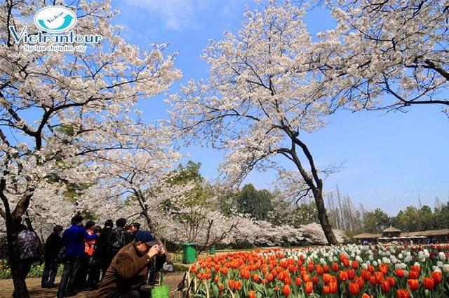 Ngắm hoa Anh Đào đẹp nhất thế giới chỉ từ 11,2 triệu đồng - 4