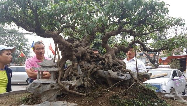 Cây sanh dáng làng đã lên u cục, bệ rễ mịn, ấm được giới chơi cây định giá tiền tỷ
