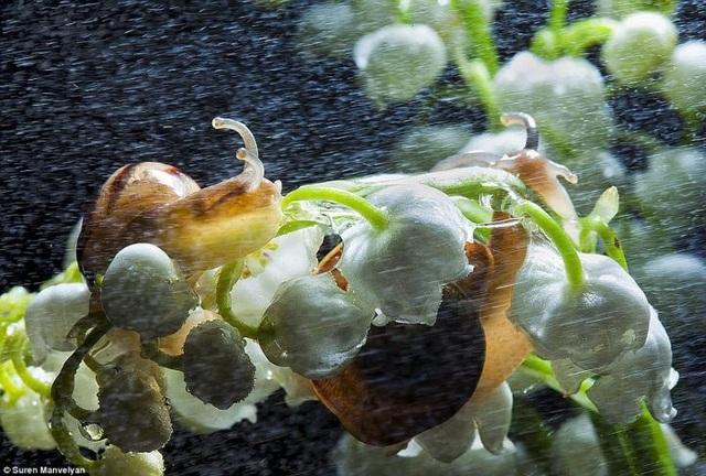 Bộ ảnh tuyệt đẹp về loài ốc sên dưới mưa - 4