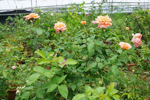 Chồng bỏ lương 100 triệu cùng vợ trồng 100 ngàn cây hoa hồng - 5