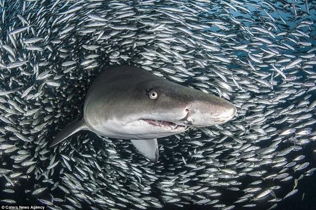 Tôi dành nhiều thời gian để khám phá, chụp ảnh đại dương và cá mập là một trong những chủ đề ưa thích của tôi - Tanya chia sẻ. (Nguồn: Caters News Agency)