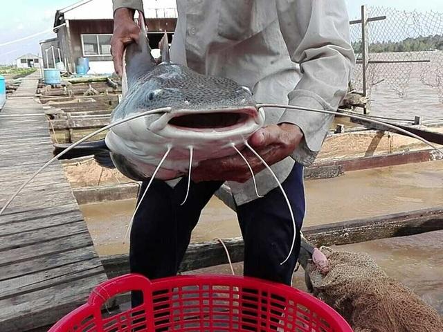 Da cá dày, trơn có màu trắng đen xen kẽ nhau. Ảnh: H.DƯƠNG