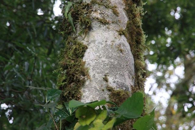 Kỳ bí rừng chè cổ thụ 1.000 năm tuổi 1.500m trên đỉnh Khang Su Văn - 5