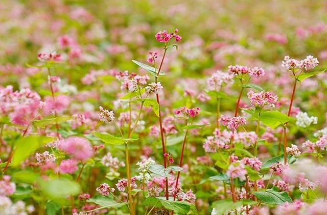 """""""Phát cuồng"""" vẻ đẹp hoa tam giác mạch bung nở trên sườn núi đá Hà Giang - 5"""
