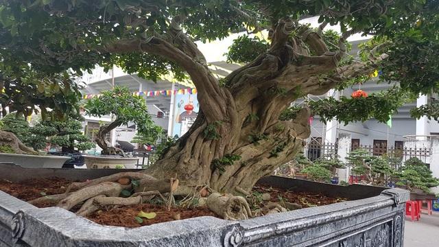 Cây trứng gà (lê ki ma) có bộ rễ nằm trải dài trên thân chậu (ảnh trên). Một cây sơ ri (cây có nguồn gốc miền Nam) cổ quái được phát giá 220 triệu đồng.