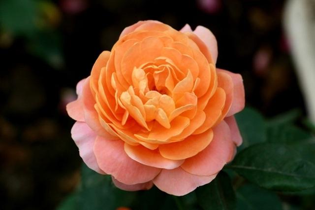 Điểm đến hấp dẫn cho người đam mê hoa hồng dịp 30/4 tại Hà Nội - 6