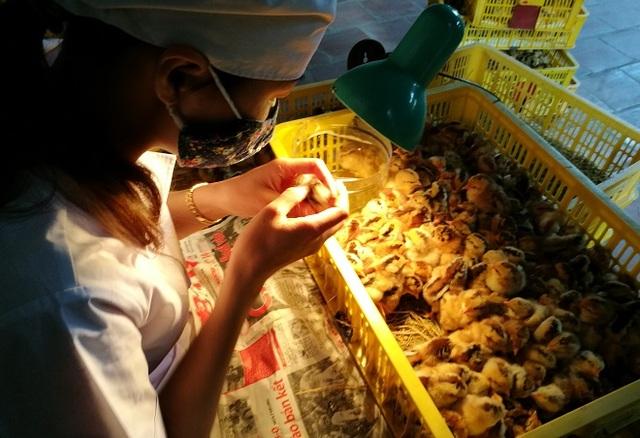 Trung bình mỗi ngày chị Dung phân loại giới tính được khoảng 10.000 – 15.000 con gà