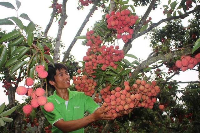 Với giải pháp cho vải thiều ra hoa, đậu quả trên thân, năm nào vườn vải nhà ông Hành cũng được mùa với sản lượng đạt từ 20 - 30 tấn quả, thu về khoảng 500 triệu – 600 triệu đồng/năm. Ảnh: Đức Thọ.