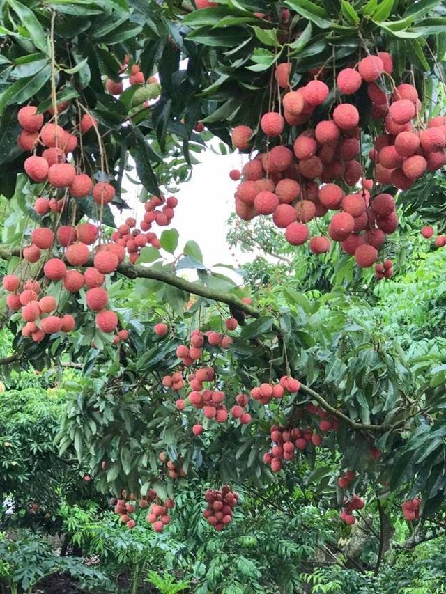 """Vụ vải năm 2017, trong khi nhiều vườn vải Bắc Giang rơi vào cảnh mất trắng thì vườn vải của """"phù thủy"""" Hành (trái) vẫn lúc lỉu quả ở ngay cả thân cây vải."""