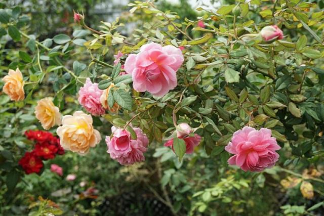 Các vườn hoa hồng của chị được phân phố khắp các tỉnh Hà Nội, Hoà Bình, Bắc Ninh, Mộc Châu...