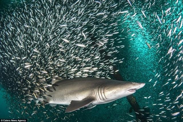 Theo các nhà khoa học, những con cá nhỏ thường bơi quanh kẻ săn mồi như một biện pháp tự vệ nếu chúng cảm thấy bị đe dọa. (Nguồn: Caters News Agency)