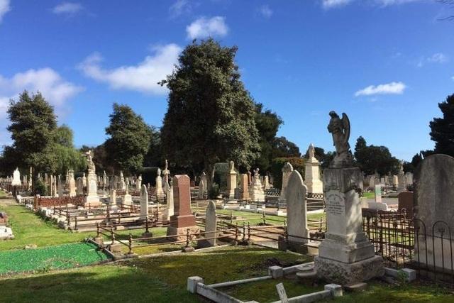 Những cây ô liu trong nghĩa trang West Terrace được trồng từ những năm 1860.