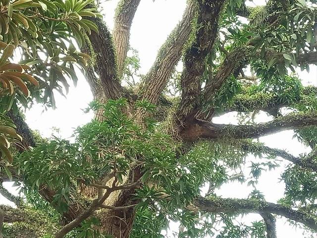 Hầu hết các cành của cây trôi cổ thụ này đều đã mọc rêu phong, trông rất cổ kính.