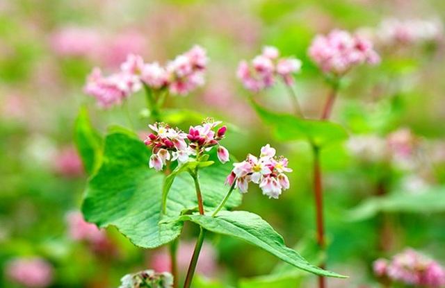 """""""Phát cuồng"""" vẻ đẹp hoa tam giác mạch bung nở trên sườn núi đá Hà Giang - 6"""
