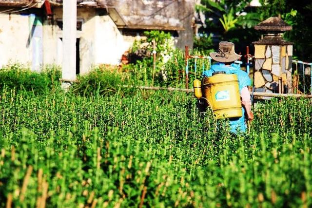Chăm sóc vườn cúc để bán hoa dịp Tết. Ảnh: Dũ Tuấn