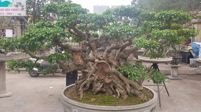 Cuộc đọ cây tiền tỷ của dân làng Triều Khúc - 6