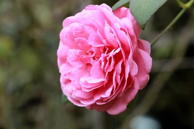 Điểm đến hấp dẫn cho người đam mê hoa hồng dịp 30/4 tại Hà Nội - 7