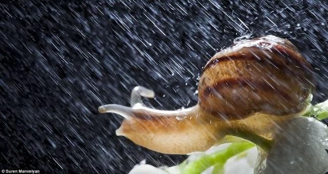 Bộ ảnh tuyệt đẹp về loài ốc sên dưới mưa - 6