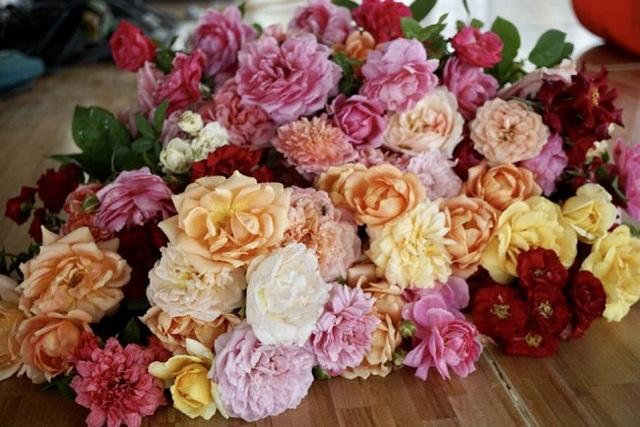 Hoa hồng trong vườn của chị Hằng đủ các màu sắc. Thỉnh thoảng hoa nở rộ còn được chị hái tặng khách tới thăm vườn