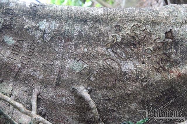 """Cây 800 tuổi ở Đà Nẵng """"đau đớn"""" vì chằng chịt """"lời tỏ tình"""" - 7"""