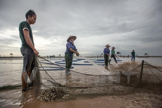 Thái Bình: Kiếm tiền triệu từ nghề cào ngao thuê ở Đồng Châu - 8