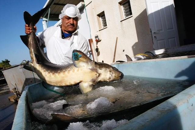 Mục sở thị món ăn xa xỉ bậc nhất hành tinh: Trứng cá tầm giá bạc tỷ - 3