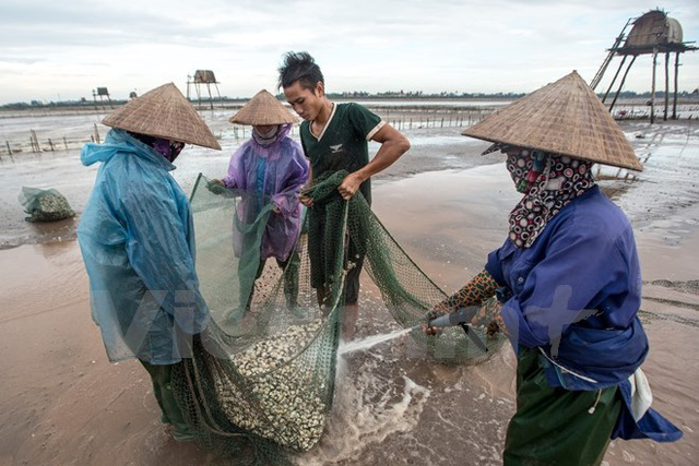 Thái Bình: Kiếm tiền triệu từ nghề cào ngao thuê ở Đồng Châu - 9
